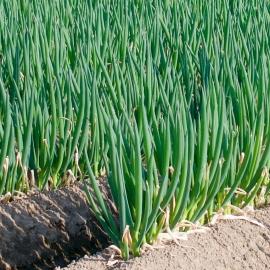 リーキの青ネギ『阿波ねぎ』栽培